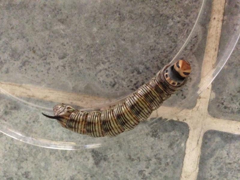 Besoin de connaitre l'identification de cette chenille [Hyloicus sp.] Chenil14