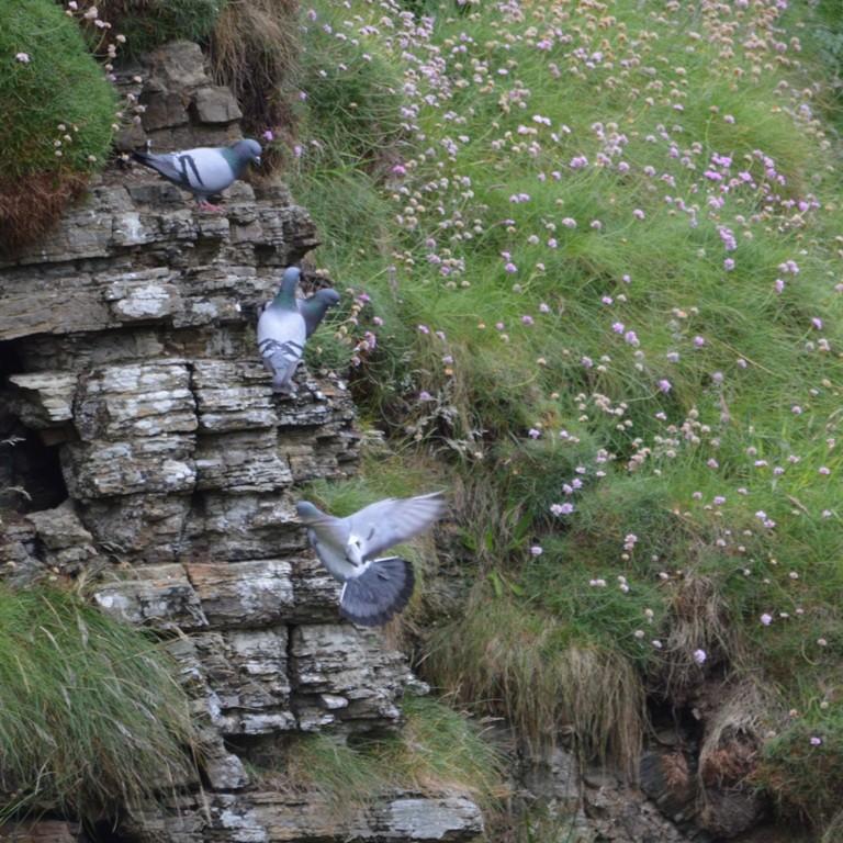 Identification pigeon Bisets10