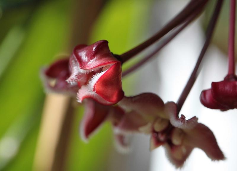 Hoya buotii blüten Img_7210
