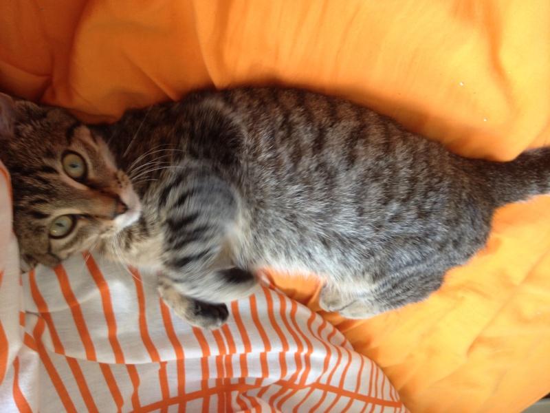 Jersey, mâle type européen tigré, né en mai 2014 Img_1211