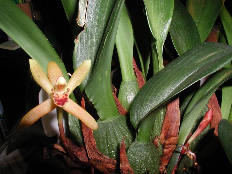 Maxillaria rufescens Maxill14