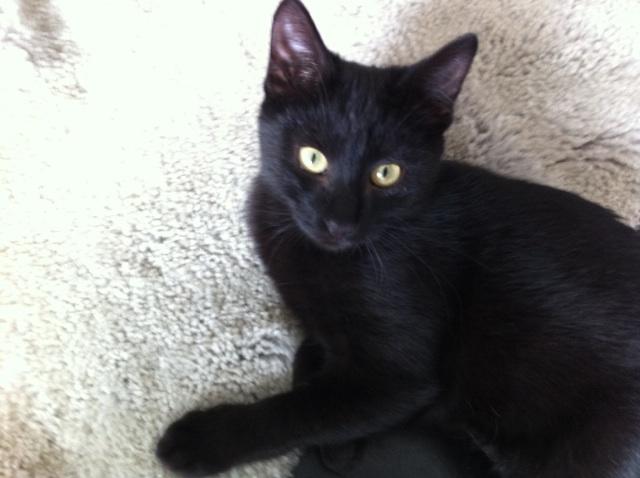 Jolicoeur, chaton type européen, noir née le 01/07/2014 Img_4310