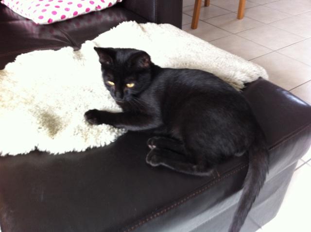 Jolicoeur, chaton type européen, noir née le 01/07/2014 Img_4311