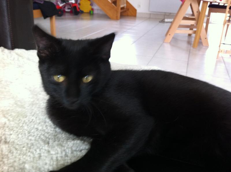 Jolicoeur, chaton type européen, noir née le 01/07/2014 Img_4312