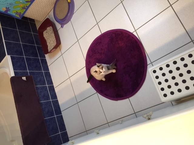 Joyau, mâle type européen seal point, né le 01/09/2014 Img_4612