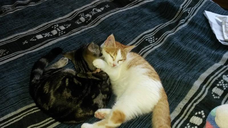 Jango, chaton type européen roux et blanc, né le 15/06/2014 Jango10
