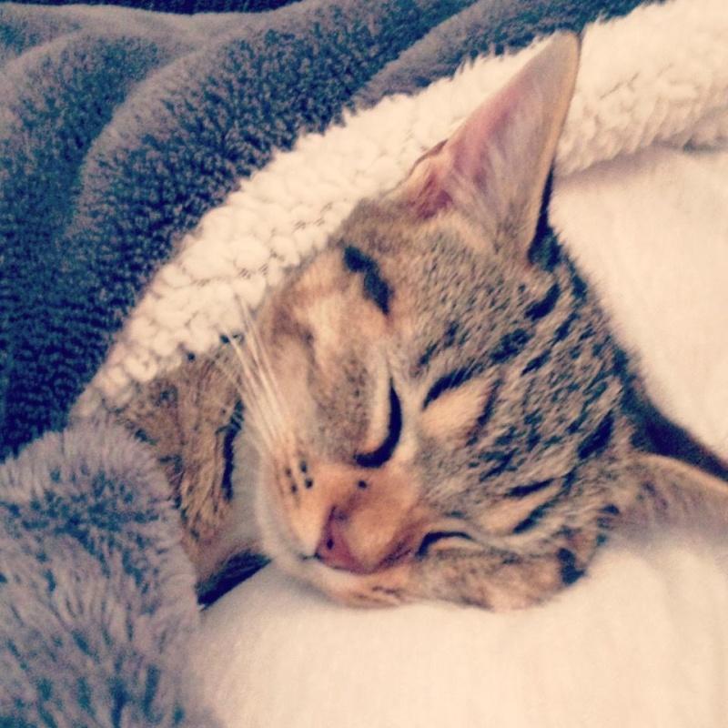 Junon, chatonne européenne tigrée et blanche, née le 19/06/14 Junon110