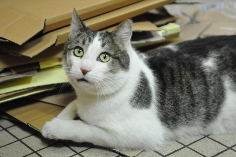 fonzie - Fonzie, mâle tigré et blanc type européen, né le 01/07/2010 Minou_10