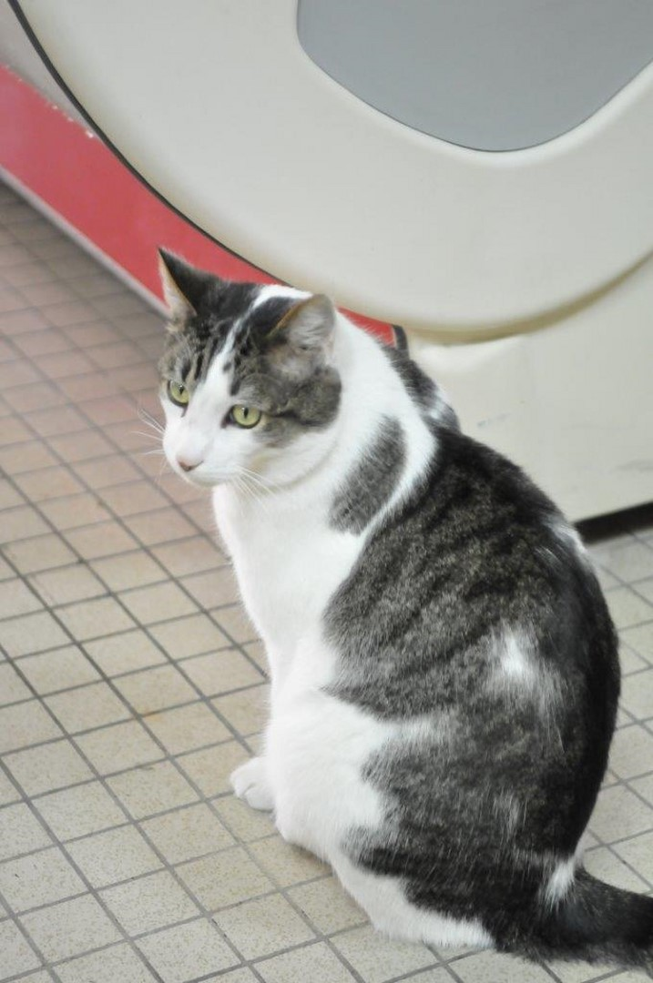 fonzie - Fonzie, mâle tigré et blanc type européen, né le 01/07/2010 Minou_11
