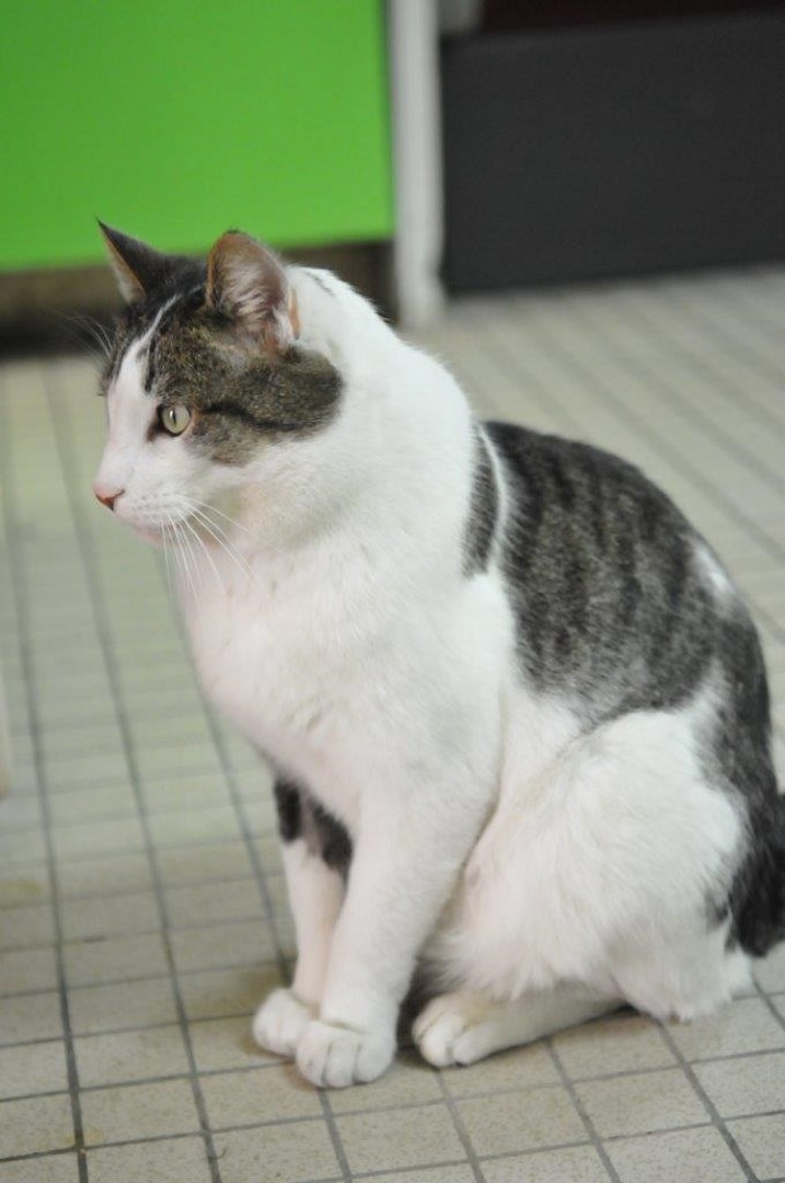 fonzie - Fonzie, mâle tigré et blanc type européen, né le 01/07/2010 Minou_12
