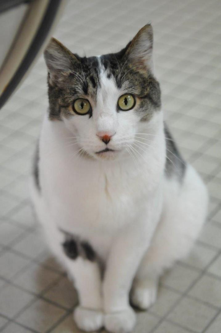fonzie - Fonzie, mâle tigré et blanc type européen, né le 01/07/2010 Minou_13