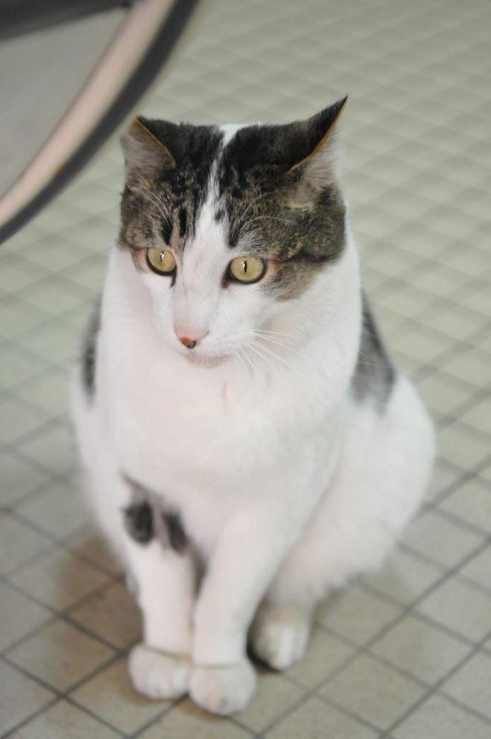 fonzie - Fonzie, mâle tigré et blanc type européen, né le 01/07/2010 Minou_14