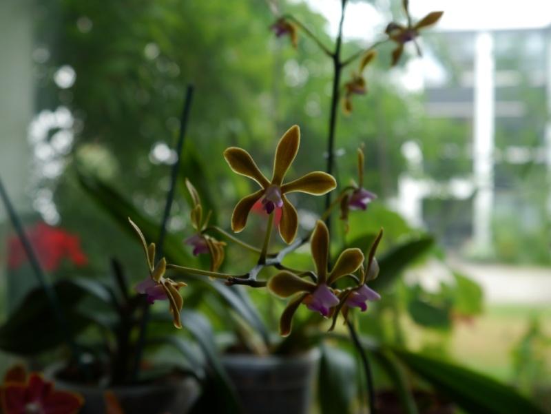 meine orchideen.. Bracea13
