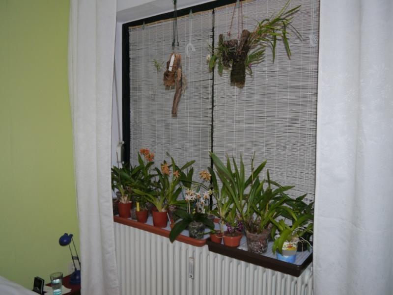 meine orchideen.. P1030611