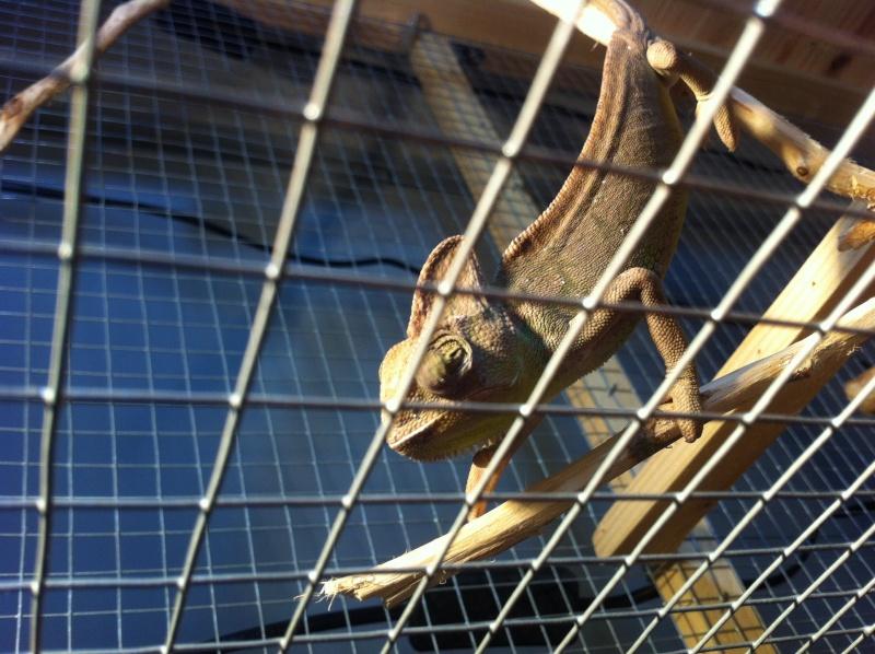 Probleme cameleon calypratus (œil) Image13