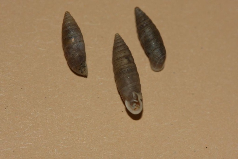 Granaria variabilis (Draparnaud, 1801) Granar11