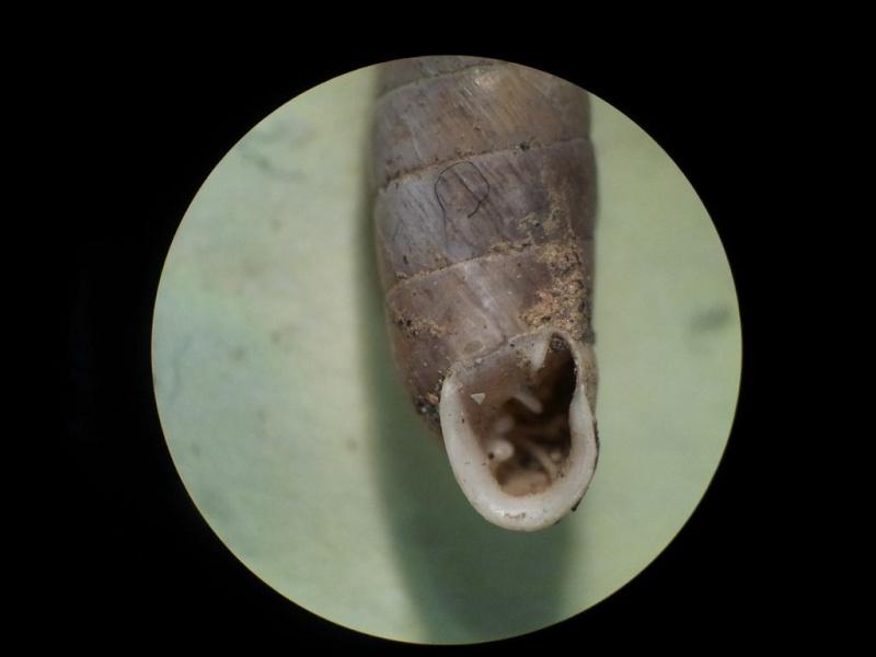 Granaria variabilis (Draparnaud, 1801) Granar12