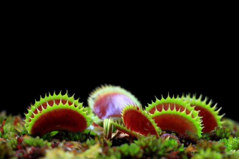 Dionaea 'shark piranha' clone 2 Image13