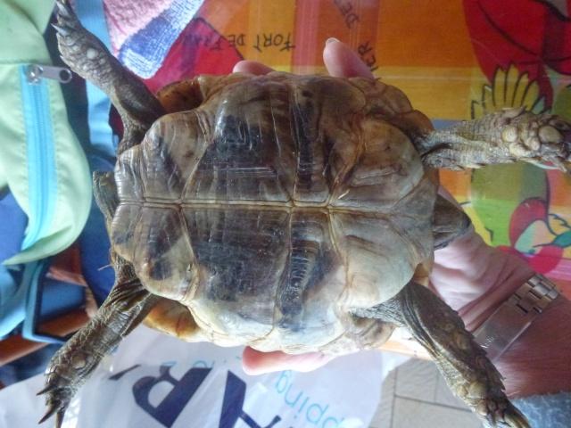 Identification tortue trouvée sur un trottoir P1140311