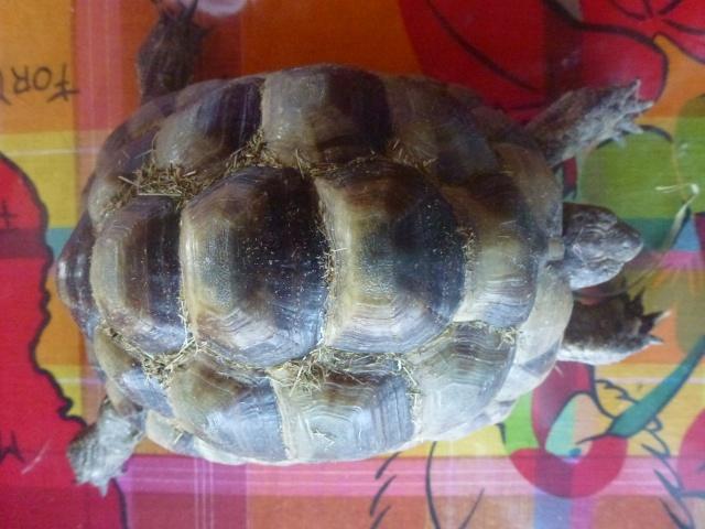 Identification tortue trouvée sur un trottoir P1140312