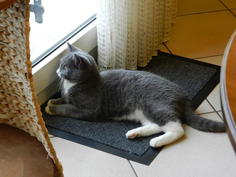 Berlioz (ancien Juki), mâle gris et blanc né 1er juin 2014 - Page 2 Dscn0610
