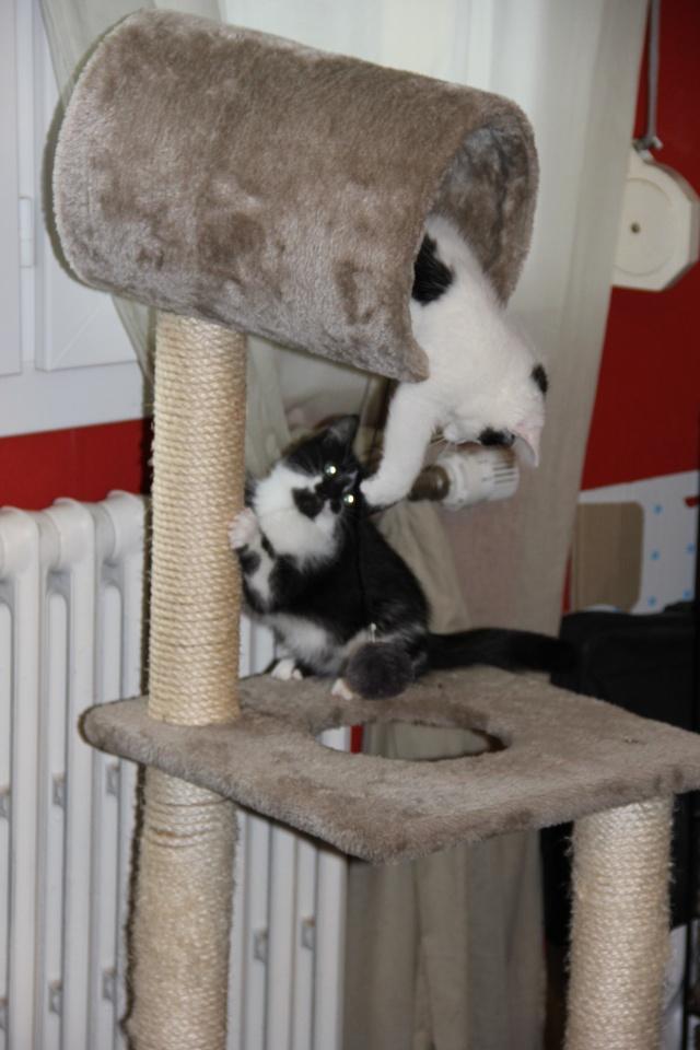 Jenna femelle blanche et noire née le 01/08/2014 Img_0819
