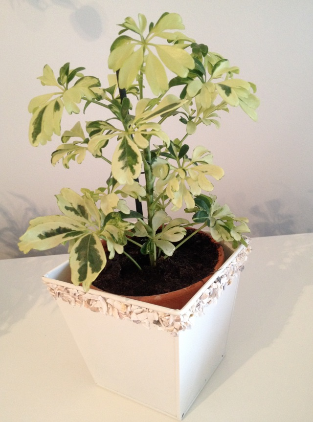 (Schefflera) Bébé plante verte sans papier ... Qui est-ce ? :-) Captur10