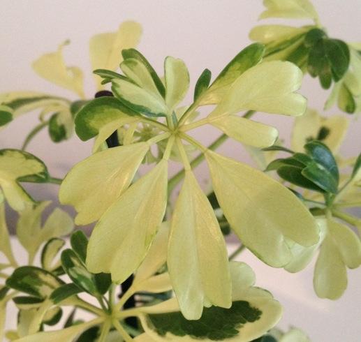 (Schefflera) Bébé plante verte sans papier ... Qui est-ce ? :-) Captur11