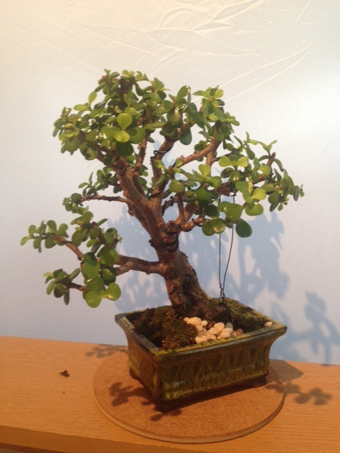 Need some help - first Bonsai - Jade tree green leaves falling off Tree11