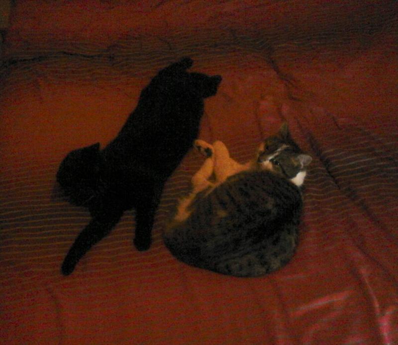 INZ0, chat européen, robe noire, né le 01/09/2013 Dsc_0016