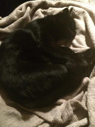 INZ0, chat européen, robe noire, né le 01/09/2013 Img_4023