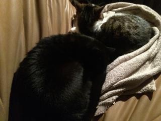 INZ0, chat européen, robe noire, né le 01/09/2013 Img_4313