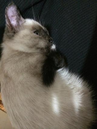 Jaïna, femelle type européenne Tortie point, née le 14/07/2014 Img_8310
