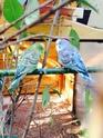 Mes 6 perruches Perruc12