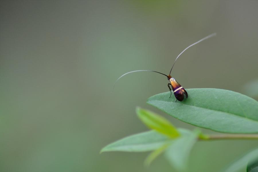 Identification papillon... [Adela australis] Dsc_0310