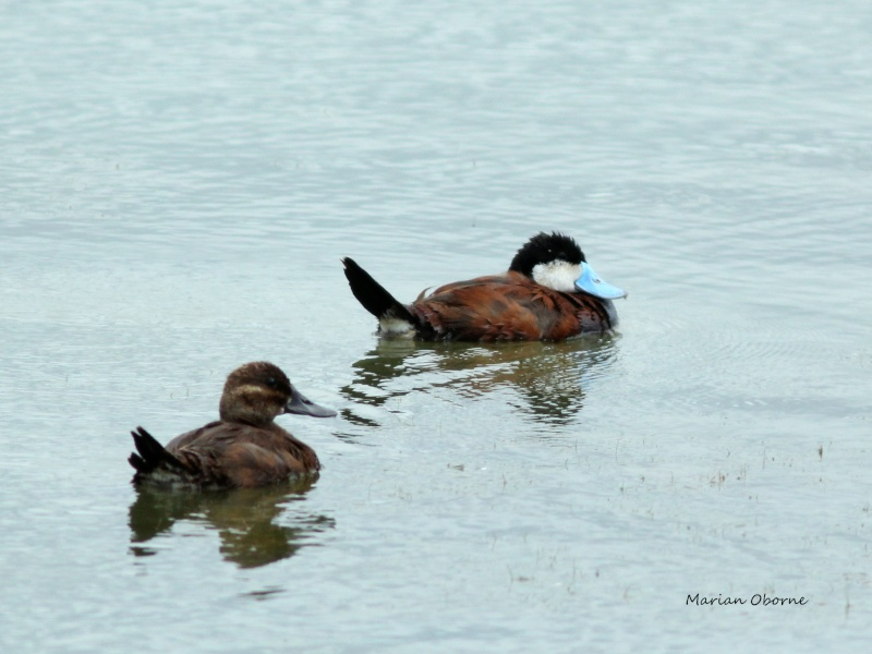 Quelques Canards Img_0013