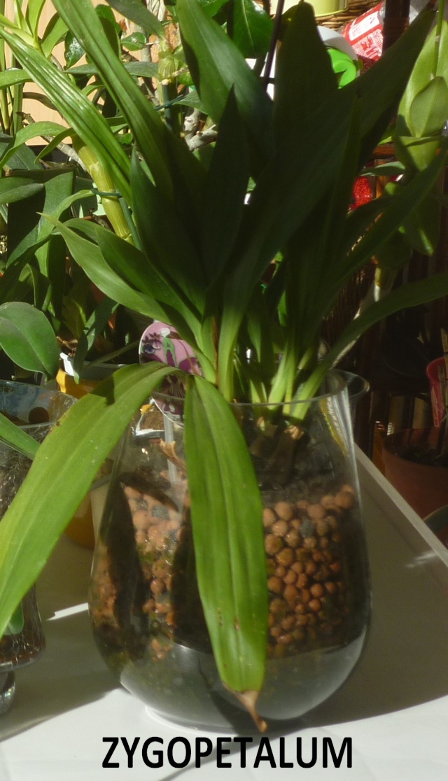 phalaenopsis violet noir - Page 2 P1160427