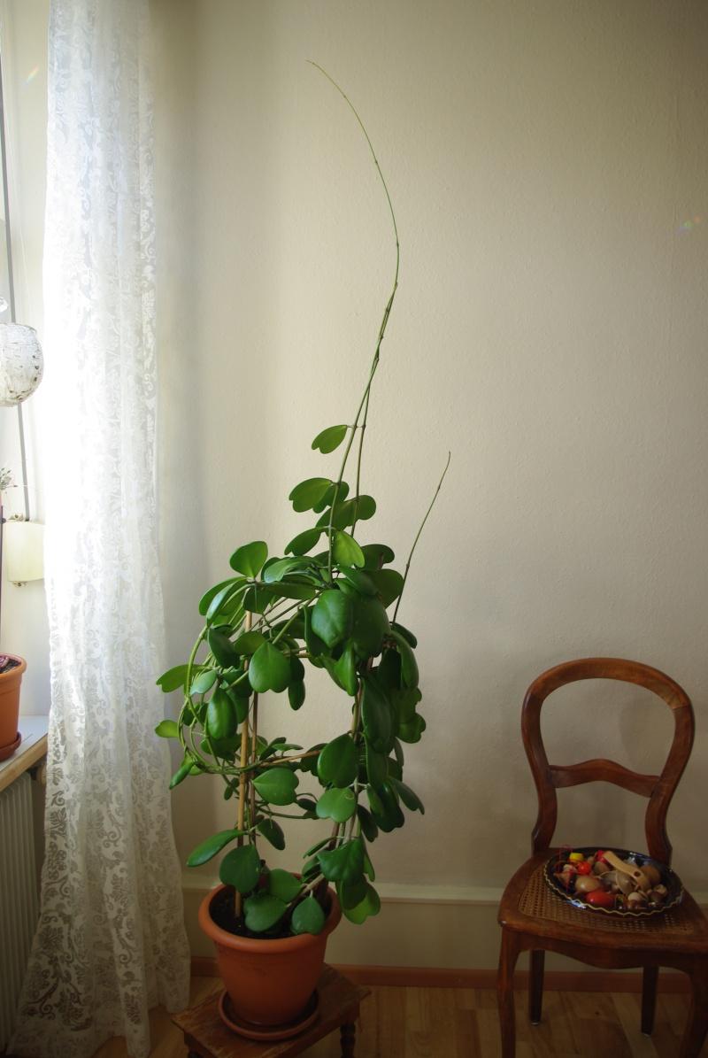 Hoya Kerii Imgp0414