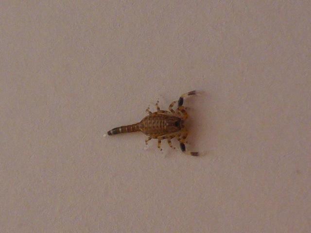 Mozambique baby scorpio sting??  P1020117