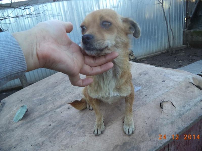 TINA, F mini x chihuahua née env 2012 (Anda) - Réservée adoption par la maman d'Astrid (dpt 67) 10685411