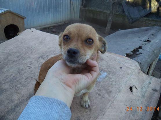 TINA, F mini x chihuahua née env 2012 (Anda) - Réservée adoption par la maman d'Astrid (dpt 67) 10888910