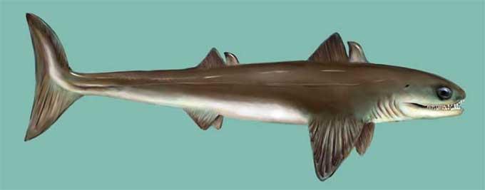 Cladoselache, un requin préhistorique Clados10
