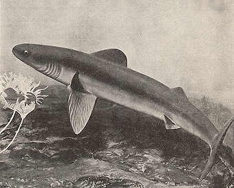 Cladoselache, un requin préhistorique Early_10