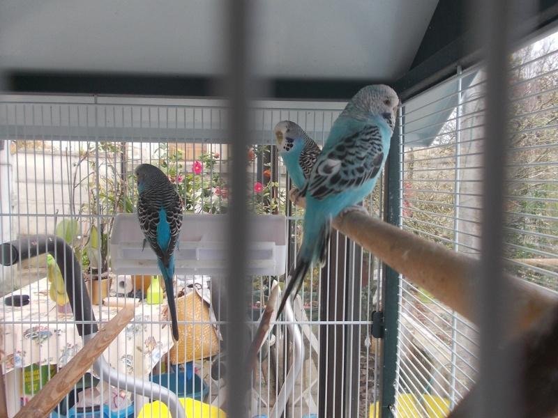 3 perruches à adopter (Yvelines) 1 mâle+2 femelles Dscn8911