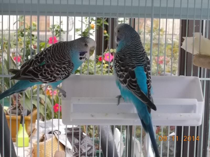 3 perruches à adopter (Yvelines) 1 mâle+2 femelles Dscn9011