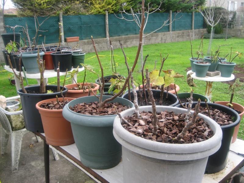 Piments, poivrons, tomates et figuiers 00610