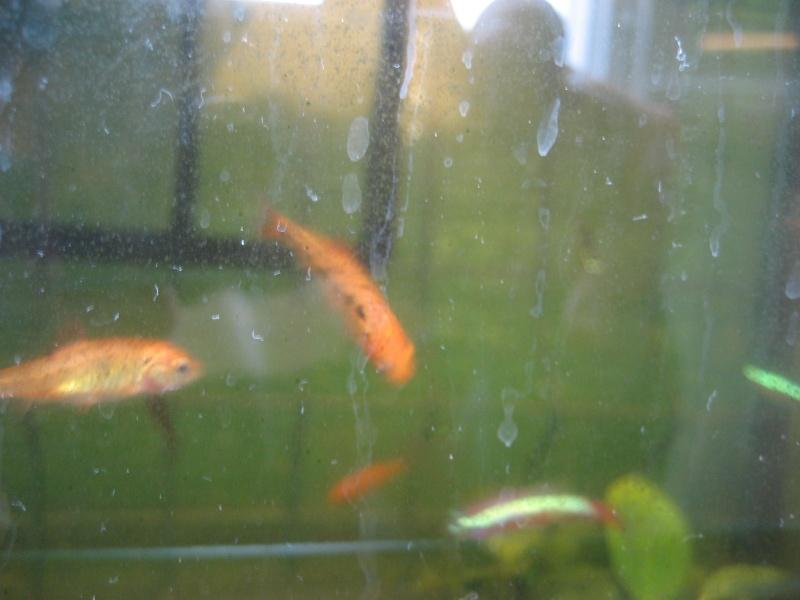 Présentation rapide de mes poissons. 01010