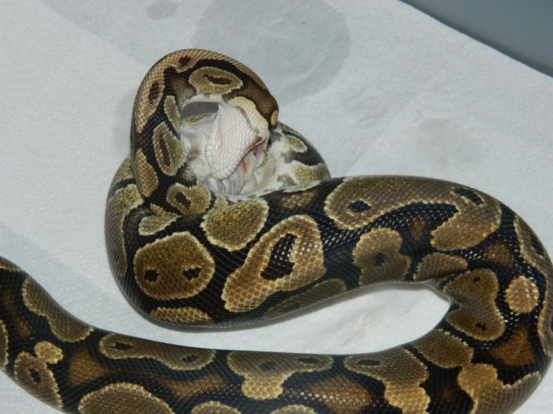 Python Regius Classique F <--- Dscn1710