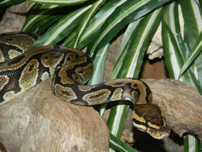 Python Regius Classique F <--- Dscn2010
