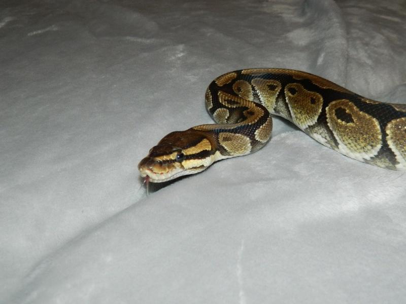 Python Regius Classique F <--- Dscn2011